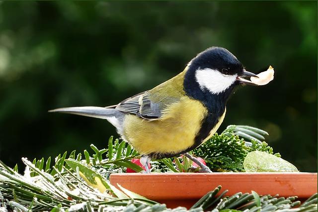 sýkorka, krmítko, pták, zahrada